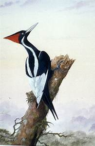 130 best images about Ivory Billed Woodpecker on Pinterest ...