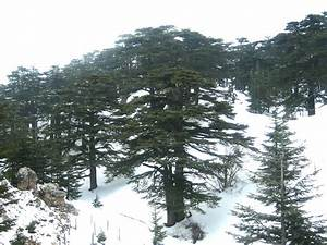 Cedars of God - Wikipedia