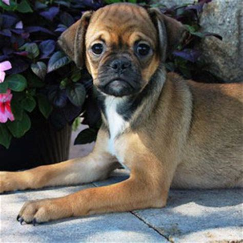 do pocket puggles shed available puppies puppy place