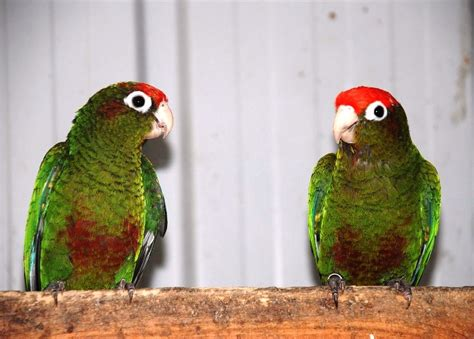 rose crowned conure