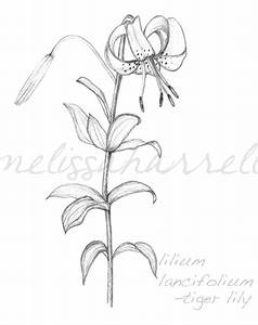 lily flowers drawings | tiger lily flower drawing ...