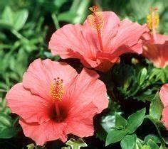 Comment Reconnaitre Un Hibiscus D Intérieur Ou D Extérieur : fiche plante hibiscus ~ Dallasstarsshop.com Idées de Décoration