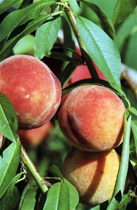 peach state fruit state symbols usa