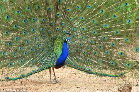 Peacock Feathers Legs And Fat Are Used In Indian Medicine