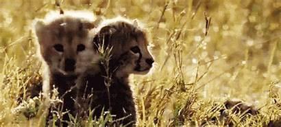 Gifs Animals Animais Animal Cheetah Animated Cubs