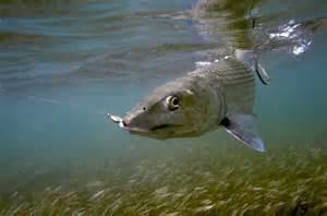 Bonefish and Permit Fish