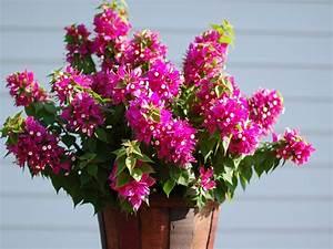 Bougainvillea Blüht Nicht : g rtner innen balkonpflanzen seite 6 ~ Lizthompson.info Haus und Dekorationen