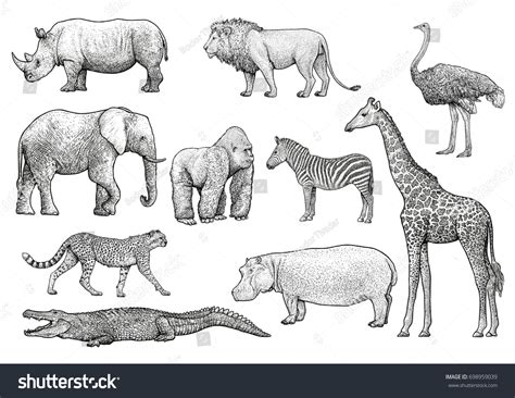 african animals illustration drawing engraving ink stock