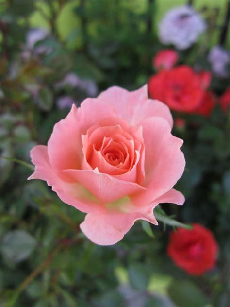 miniature roses miniature roses huntersgardencentre com