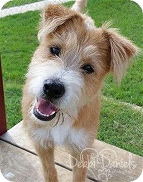 terrier mix ideas  pinterest terrier mix