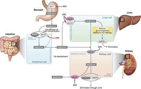 effects  proton pump inhibitors  metformin