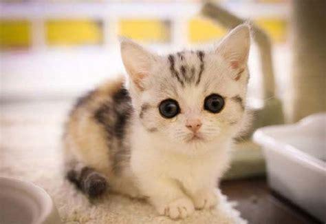 Munchkin Cat  Breed Description, Photo, Character, Video