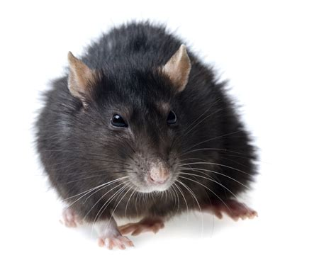 The Common Types Of Rodents | The Killers
