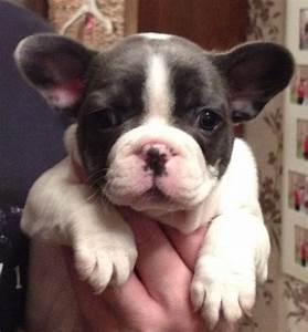 French Bulldog Blue And White