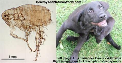 naturally  rid  fleas   home garden