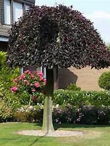Rote Johannisbeeren Hochstamm Schneiden : fagus sylvatica 39 purpurea pendula 39 h nge blut buche ~ Lizthompson.info Haus und Dekorationen