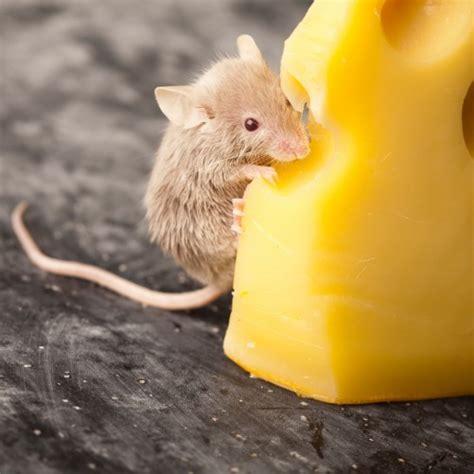 Mäuse In Der Küche by Acrylglasbild S 252 223 E Maus Knabbert An Einem K 228 Se In Der
