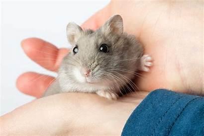 Hamster Og Hos Sykdom Buddy