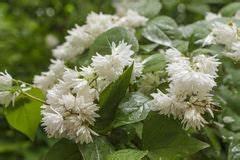 Weiß Blühender Strauch : strauch mit wei en blumen stockfoto bild 21127440 ~ Lizthompson.info Haus und Dekorationen