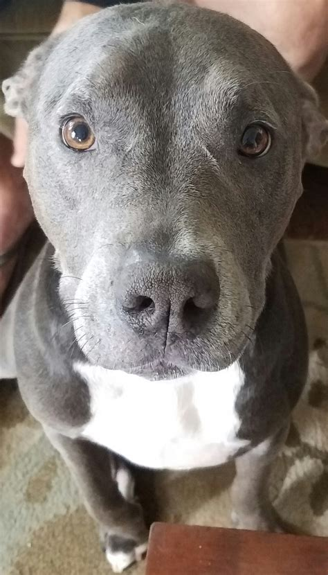 percy  perfect pitbull doggos  puppers rare