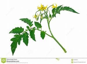 Feuille De Tomate : brin de fleur et de feuille de plante de tomate image ~ Melissatoandfro.com Idées de Décoration
