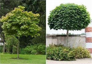 Kleine Bäume Für Vorgarten : b ume f r kleine g rten kugel ahorn acer platanoides ~ Michelbontemps.com Haus und Dekorationen