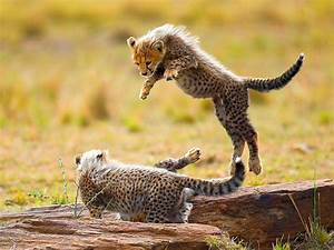 Baby Cheetah Wallpapers (45 Wallpapers) – Adorable Wallpapers