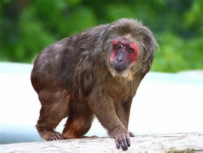 Monkey Macaque Stump Tailed Monkeyworld Rescue Had