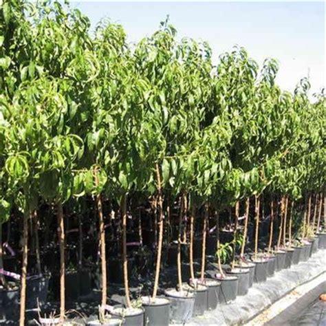 alberi da frutto in vaso albero da frutta molte variet 224 emporio della natura