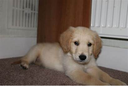 Retriever Golden Puppy Adorable Hounslow Dogs Pets4homes
