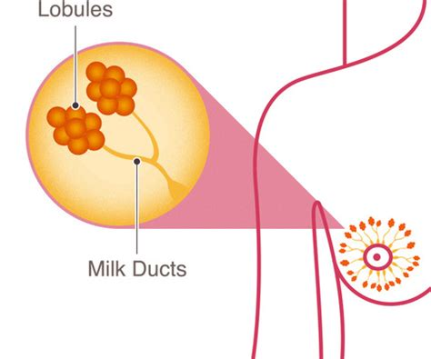 Milk Ducts In Breast Images Breast Anatomy National Breast Cancer Foundation