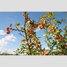 Maggot Trap Can Prevent Apple Tree Problems