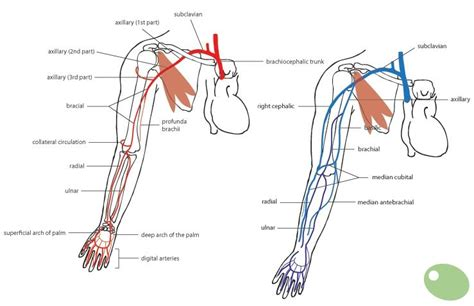 Diagram Of Arm Vessel by Arm Vasculature Anatomy Search
