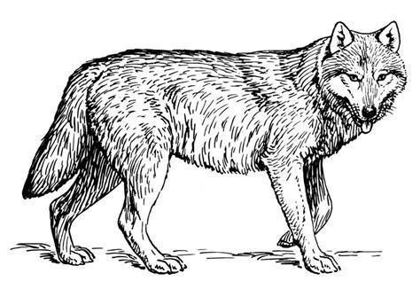 coloriage loup coloriages gratuits  imprimer dessin