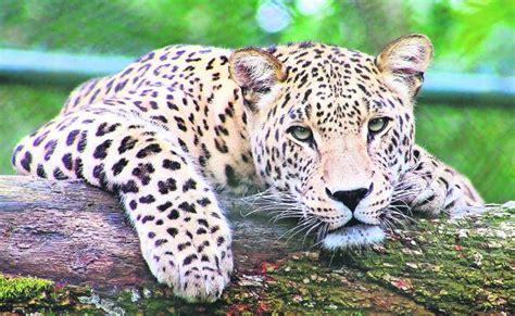 mas de  mil jaguares en peligro por el tren maya