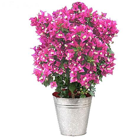livraison bougainvillier flamboyant plante fleurie