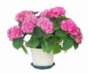 Hortensie Als Zimmerpflanze : hortensie als zimmerpflanze so pflegen sie sie richtig ~ Lizthompson.info Haus und Dekorationen