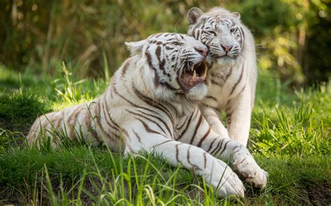 white tiger wallpapers images  pictures backgrounds