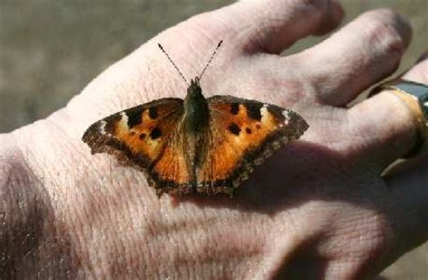 native florafauna california tortoiseshell butterfly
