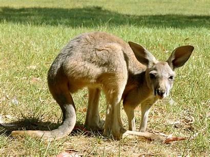 Kangaroo Joey Grey Marsupial Pixabay Crouching Australia