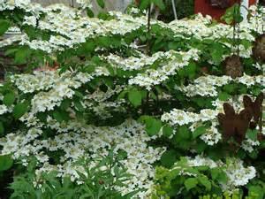 Viburnum Shrubs for Landscaping