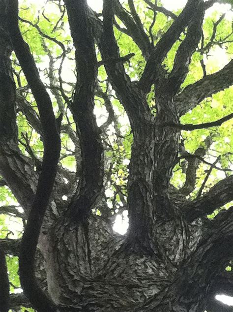 Kentucky coffee tree is a medium tree with stout, blunt branches forming a narrow, rounded crown. Kentucky coffee tree (Gymnocladus dioicus) - Photo by ...