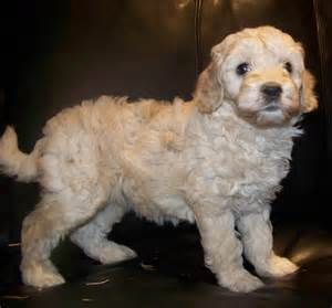 What Dogs Do Not Shed Hair by Double Doodle Dog Breed 187 Information Pictures Amp More