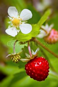 Pflanze Mit Fleischigen Blättern : wilde erdbeeren pflanze mit gr nen bl ttern stockfoto colourbox ~ Buech-reservation.com Haus und Dekorationen