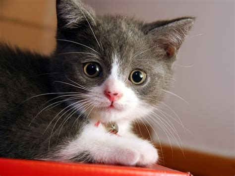 cat breeds types  cats breed domestic cat breeds
