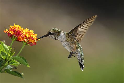hummingbird sucking flowers nectar the costa rica news