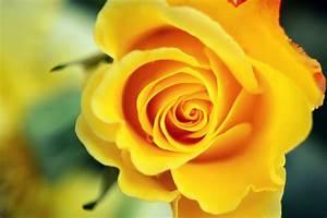Yellow Rose Wallpapers 13 Hd Wallpaper - HdFlowerWallpaper.com