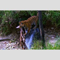 Tiger Cub's First Kill  David Attenborough  Tiger Spy