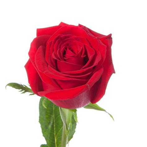 dozen red roses flower muse