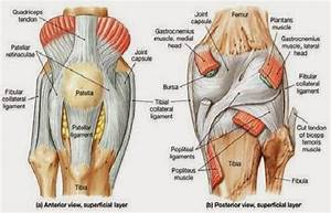 Anterior And Posterior Aspects Of The Knee
